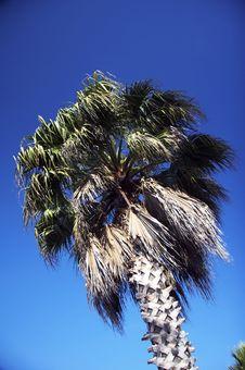 Free Palm Tree Royalty Free Stock Photos - 1500398