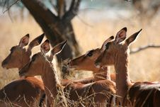 Free Herd Of Impala Stock Photos - 1500843