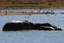 Hippo Stock Photography