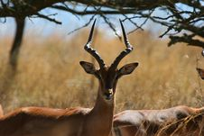 Free Male Impala Stock Photography - 1501762