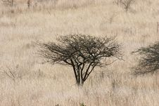 Free Acacia Tree In Grass Lands Stock Photo - 1501790