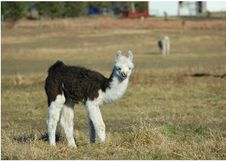 Free Baby Llama Looking At You Royalty Free Stock Photography - 1502477