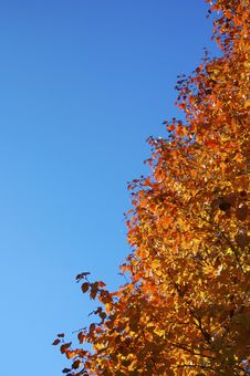 Fall Colors On A Bradford Pear Tree Royalty Free Stock Photo