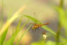 Free Dragonfly--Sympetrum Striolatum Royalty Free Stock Photography - 1504067