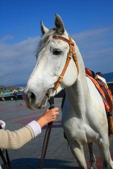 Free White Horse Stock Photo - 1505590