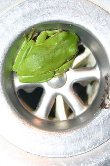 Green Plughole Frog Royalty Free Stock Photos