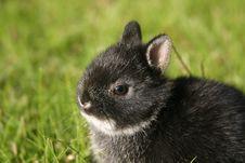 Free Netherland Dwarf Rabbit II Royalty Free Stock Photography - 1507307