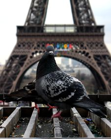 Free Eiffel Tower With Pigeon Stock Image - 1507321