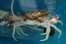 Free Crab Looking At You2 Stock Image - 1508011