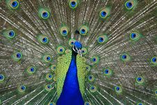 Free Peacock Royalty Free Stock Photos - 1508058