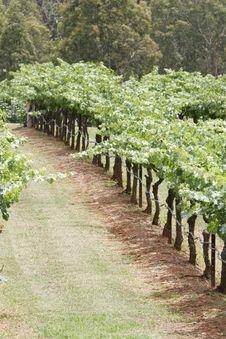 Free Wineyard Stock Image - 1508321