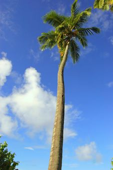 Free Coconut Palm Royalty Free Stock Images - 1509399