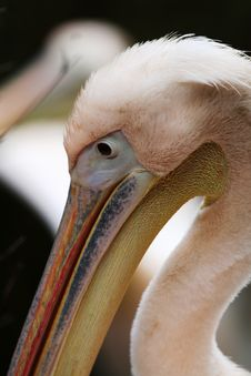 Free Close-up Of Pelican Royalty Free Stock Photo - 1509605