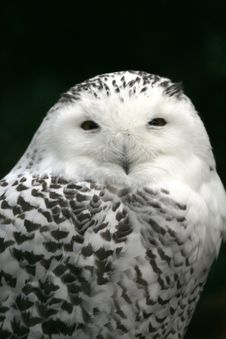 Free Close-up Of Snow Owl Royalty Free Stock Photos - 1509608