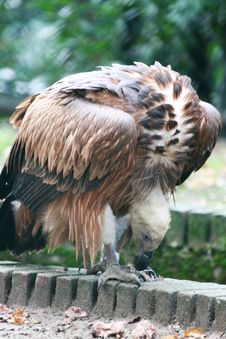 Close-up Of Vulture Stock Photo