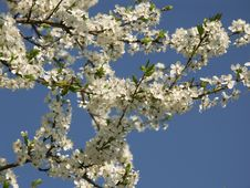 Free Cherry Flowering Royalty Free Stock Photos - 1509628