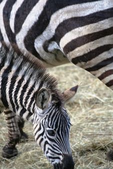 Zebra Close-up Royalty Free Stock Image
