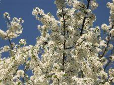 Free Cherry Flowering Royalty Free Stock Image - 1509646