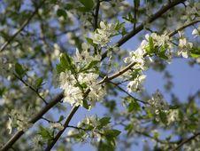 Free Cherry Flowering Royalty Free Stock Photos - 1509648