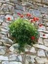 Free Poppies, Berat, Albania Royalty Free Stock Images - 15003619