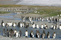 Free Colony Of King Penguin In South Georgia Royalty Free Stock Images - 15006639