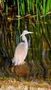 Free Little Blue Heron Stock Photos - 15007253