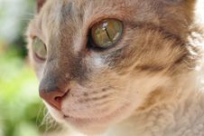 Free Beautiful Cornish Rex Cat Royalty Free Stock Photo - 15000665