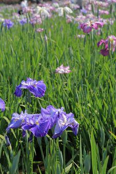 Free Blue Iris Royalty Free Stock Photo - 15000835
