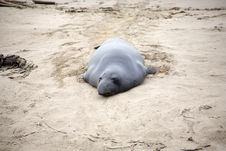 Free Male Sealion At The Beach Royalty Free Stock Images - 15000849