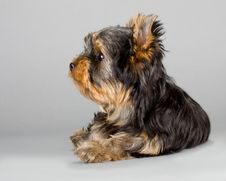 Free Yorkshire Terrier Puppie Royalty Free Stock Image - 15001316