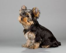 Free Yorkshire Terrier Puppie Stock Photos - 15001333