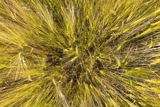 Free Spica Of Wheat Royalty Free Stock Image - 15001406