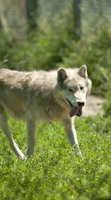 Free Timber  Wolf Stock Photo - 15001430