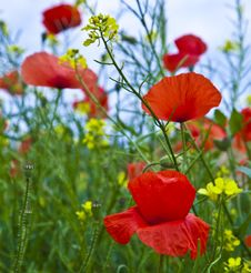 Free Meadow With Poppys Stock Images - 15001704