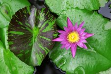 Water Lily Close Up Royalty Free Stock Image