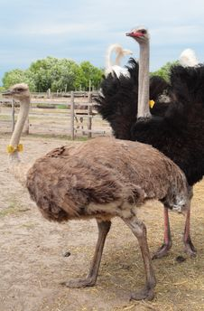 Ostrich Couple Stock Image