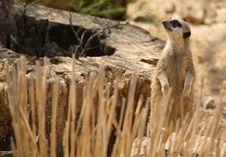 Meerkat Keeping Watch Stock Image
