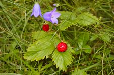Free Wild Strawberry Stock Image - 15002781