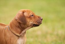Free Livernose Rhodesian Ridgeback Puppy Royalty Free Stock Photography - 15003687