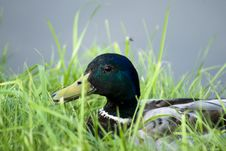 Free Duck Stock Images - 15004004