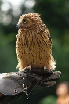Malay Fish Owl Stock Photography