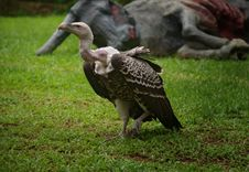 Free White-backed Vulture Royalty Free Stock Image - 15004976