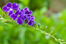 Free Thai Purple Flower Royalty Free Stock Image - 15006016