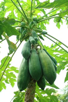 Free Papaya Tree Royalty Free Stock Images - 15006039