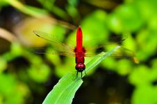 Free Red Dragonfly Royalty Free Stock Image - 15006136