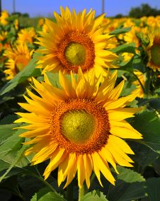 Free Sunflower Stock Photos - 15006183