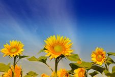 Free Sunflower Isolated Stock Photography - 15006332