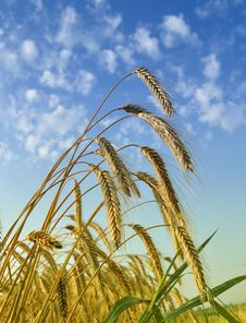 Free Gold Wheat Stock Photos - 15006433