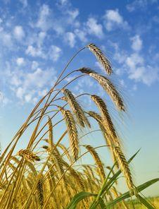 Gold Wheat Stock Photos