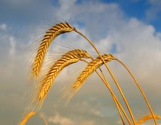Free Wheat Royalty Free Stock Photos - 15006448